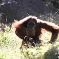 Watching the Orangutan